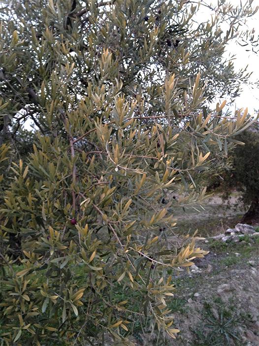 1_plagas y enfermedades del olivar