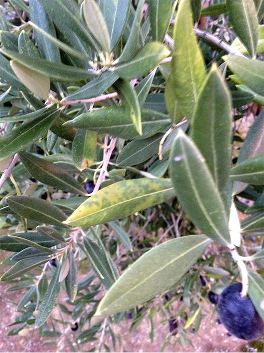 2_plagas y enfermedades del olivar