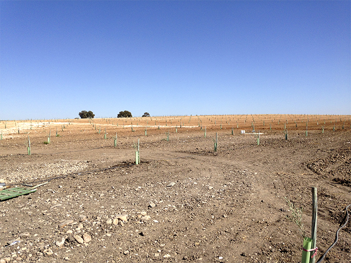3_Cultivo de olivar