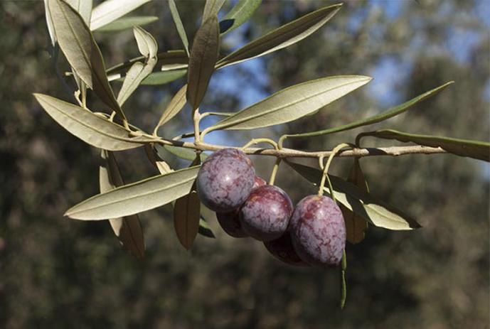 5_olivo variedad picual