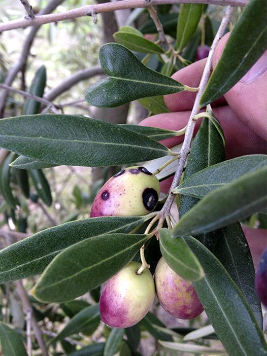 5_plagas y enfermedades del olivar