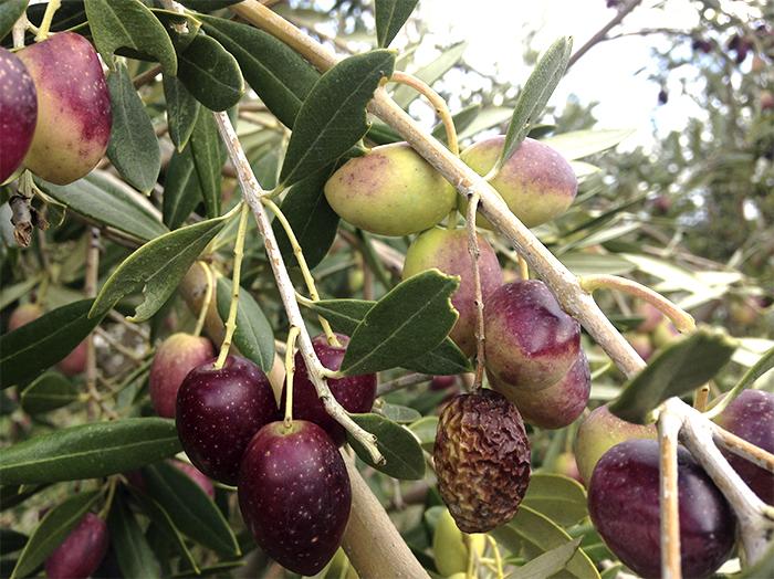 6_plagas y enfermedades del olivar