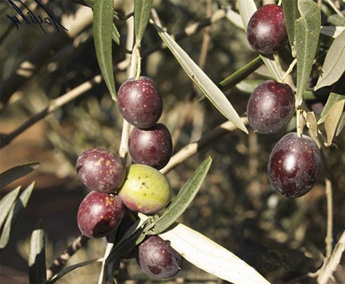 7_olivo variedad hojiblanca