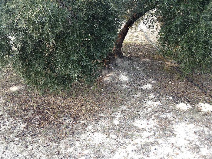 7_plagas y enfermedades del olivar