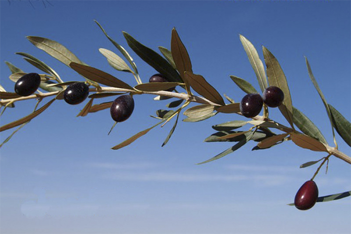 8_olivo variedad empeltre